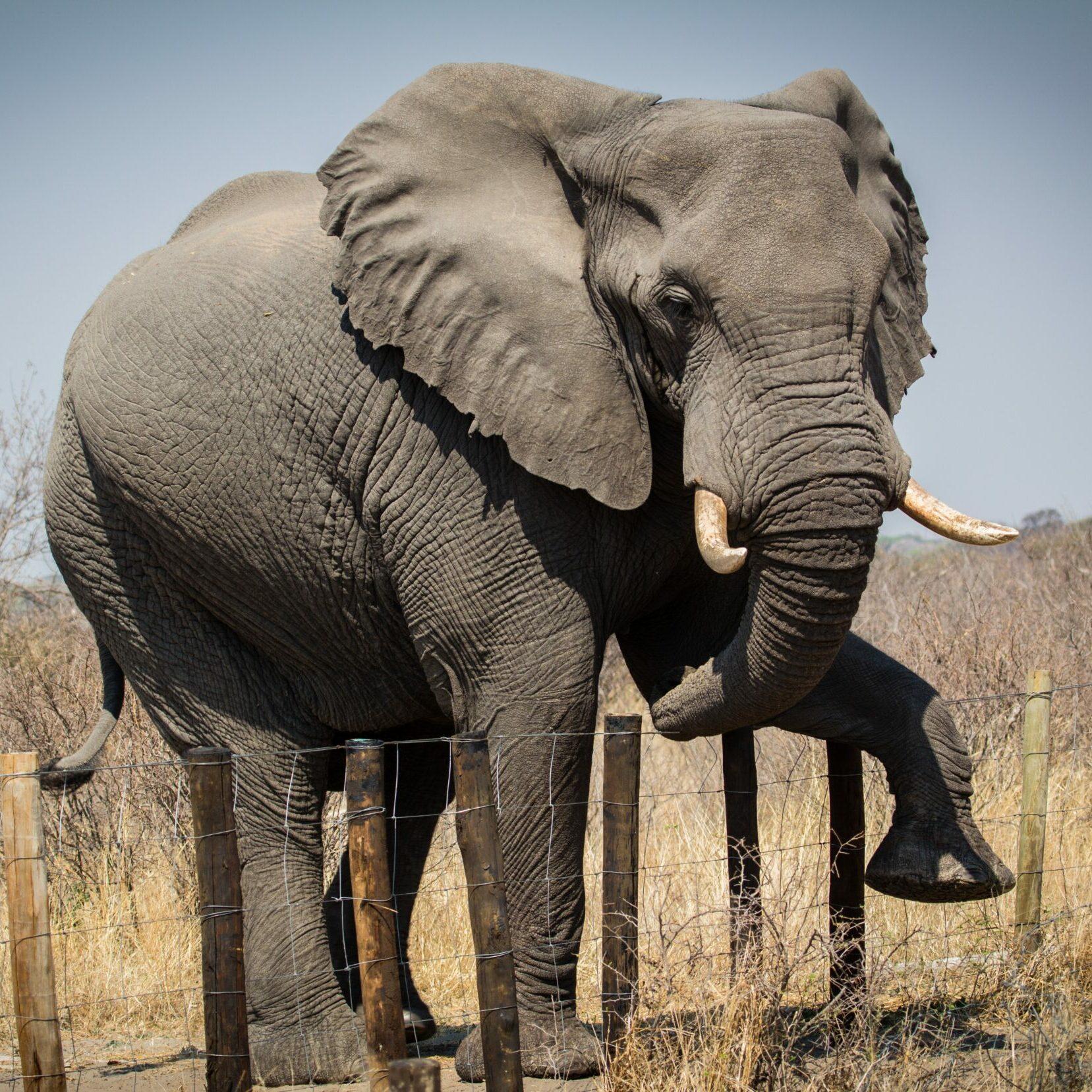 Elephant crossing human-made barrier