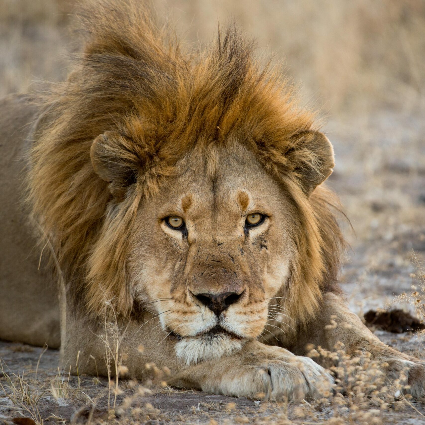 Lion resting in the wild