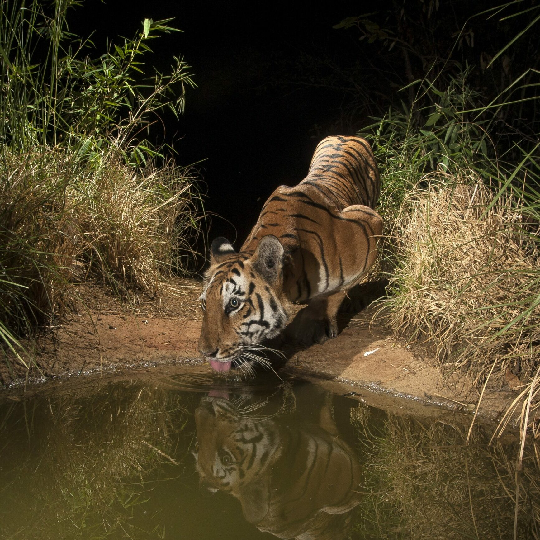 Tiger in a watering hole