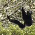 Indri in Anjozorobe Angavo