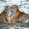 Two lions in the snow