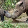 Enhancing protection of the Critically Endangered Sumatran Rhino