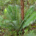 Conservation of endemic and threatened cycads of Chiapas