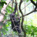 Conservation of the bonobo in the Bolobo territory