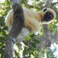 Propitechus deckeni perched on a tree