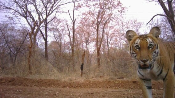 A tiger peeps into the camera trap in Cauvery Wildlife Sanctuary, southern India