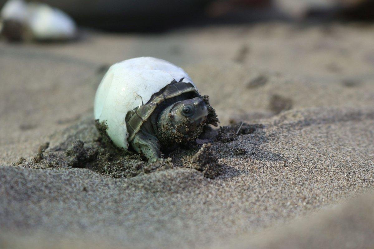 Burmese Roofed Turtle hatchling