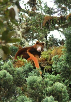 The Huon Tree-kangaroo is endemic to the region and is Endangered by habitat loss among other threats