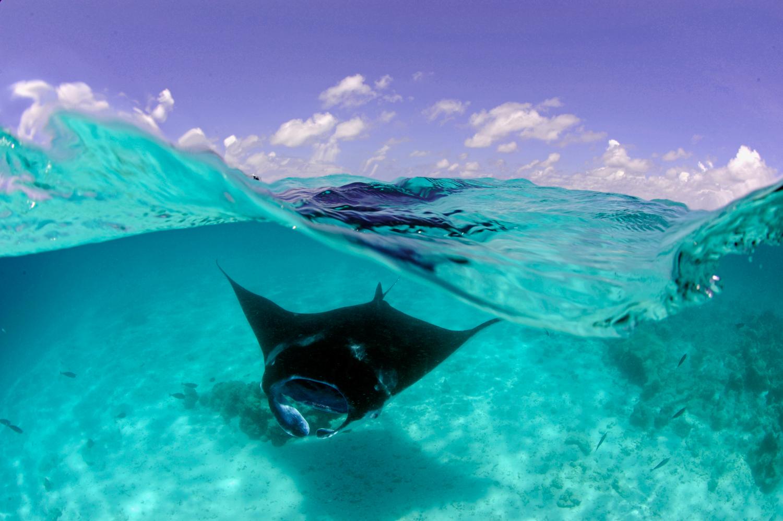 Manta Rays Maldives