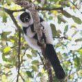 Southern Bamboo Lemur