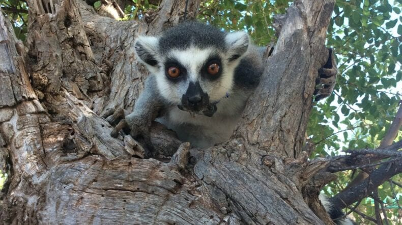 Collared Ring-tailed Lemur in tree