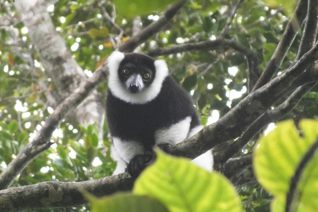 Black-and-White Ruffed Lemur in the wild