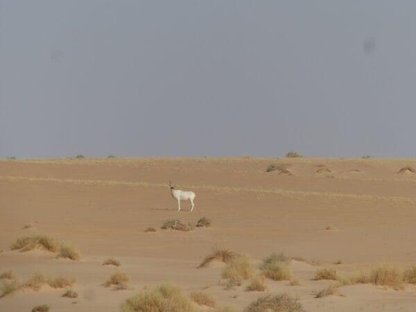 Lone Addax in Niger
