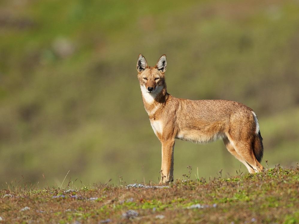 2020a 167 ethiopia ethiopian wolf rebecca jackrel