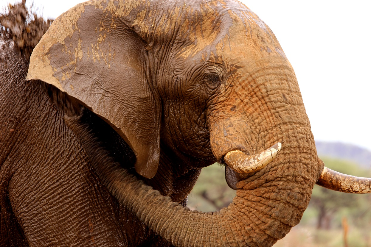 African Elephant in Namibia