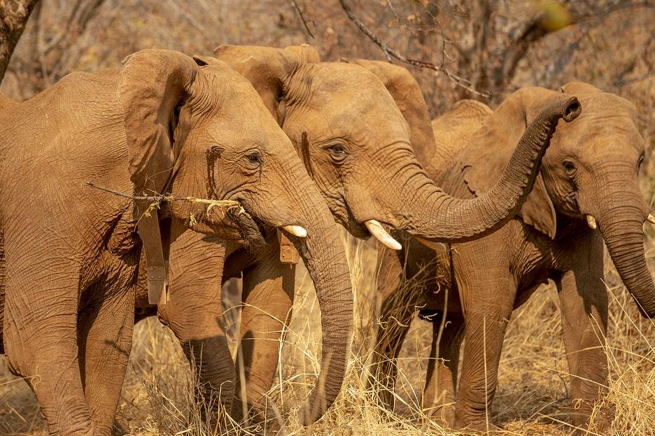 Three elephants in Zimbabwe