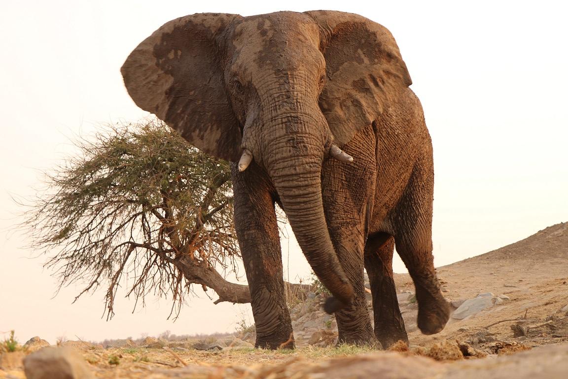 Muddy African Elephant in Zimbabwe