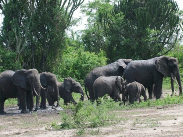 A group of Elephants in Muchision Falls National Park