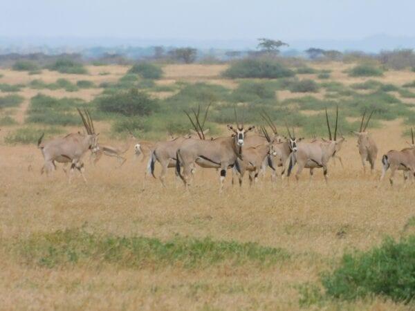 Herd of Beisa Oryx