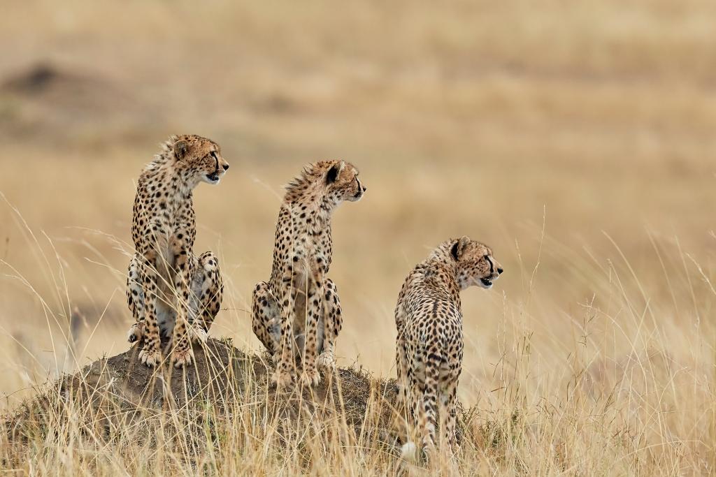 Three Cheetahs in Botswana