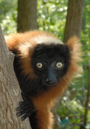 Red-ruffed lemur (Varecia rubra)