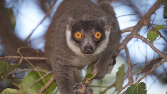 Female mongoose lemur (Eulemur mongoz) (CR)