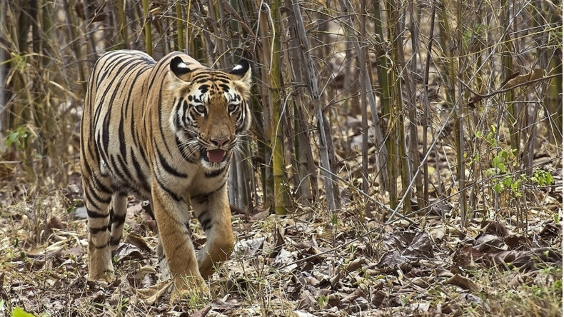 Jim's Girl -a tiger known to conservationists passing through local forests