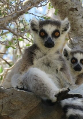 Two Ring-tailed lemurs sitting in tree