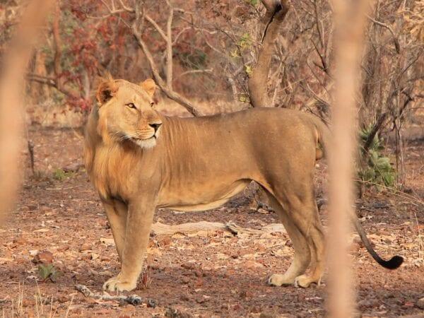 West African Lion