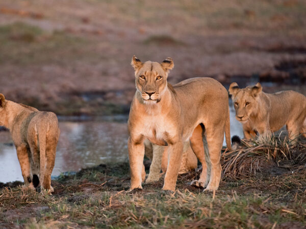 A lioness and two cubs