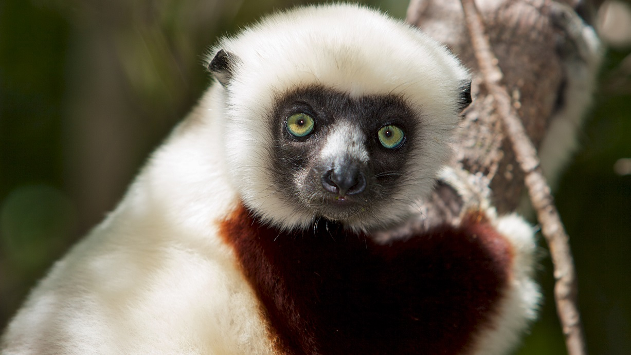 Coquerel's Sifaka in the wild