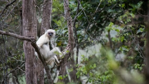 Silky Sifaka sitting in treeTitle Text: Silky Sifaka sitting in tree