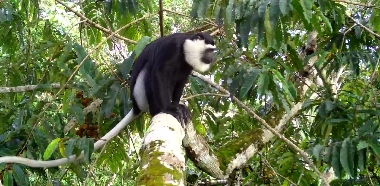 Camera trapped White-thighed Colobus on a tree
