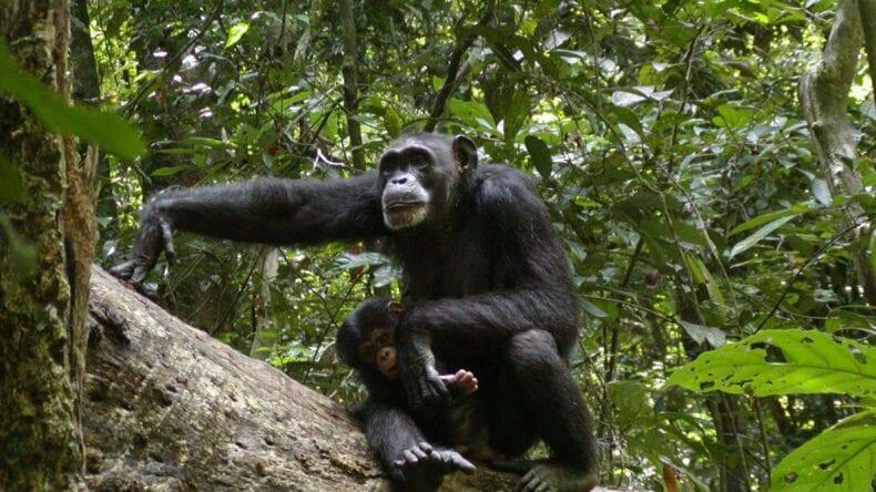 Western Chimpanzees