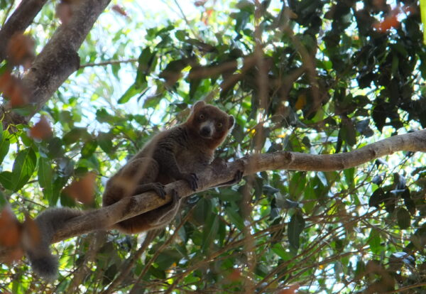 Mongoose lemur in the wild