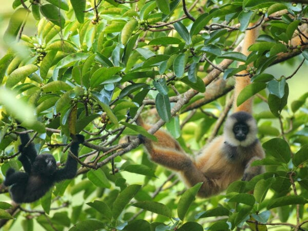 Cao vit gibbon mother with her baby-photo