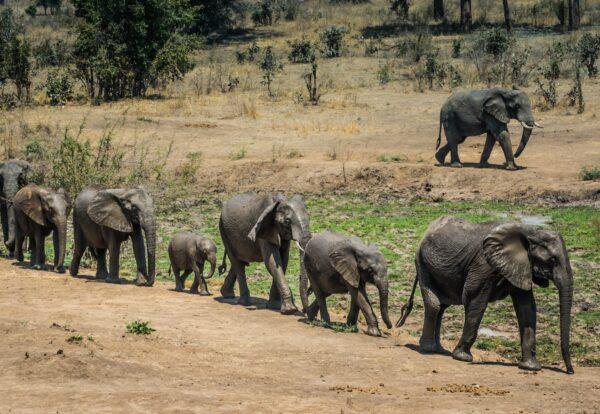 Elephants in single file