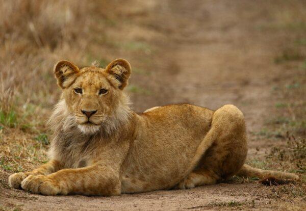 Male Lion of Papyrus Pride