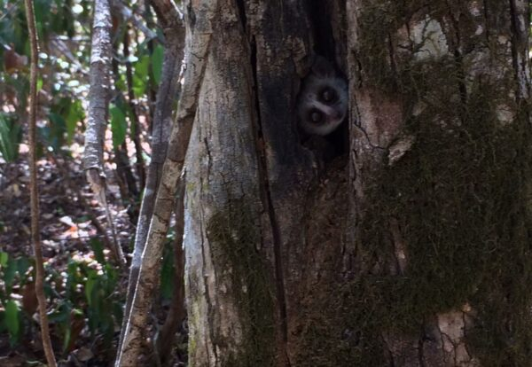 Mouse Lemur in the wild