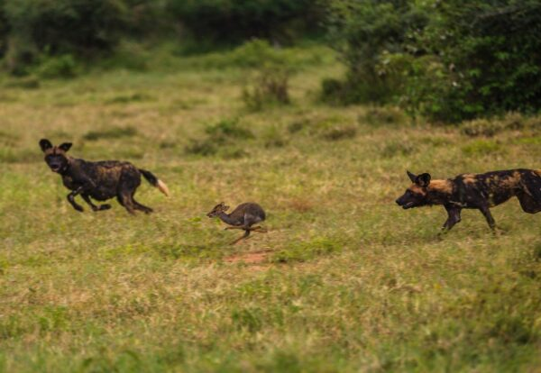 Pregnant African Wild Dog hunting