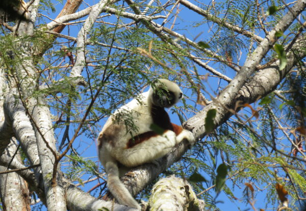 Coquerel's sifaka sitting on a tree