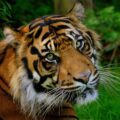 Close-up of a tiger in the grass