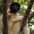 Crowned Sifaka sitting on a tree branch